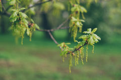 Oak tree twig with fresh spring leaves Royalty Free Stock Photo