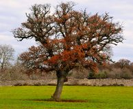 Oak tree typical of the countryside of Puglia Stock Image