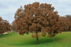 Free Oak Tree Typical Of The Countryside Of Puglia Stock Image - 28607061