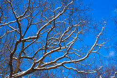 Oak-tree under snow against the blue sky Stock Photo