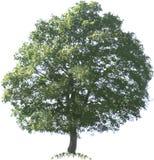Oak Tree. Vector Illustration Cutout royalty free illustration