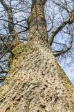 Oak tree. An oak tree viewed from underneath Royalty Free Stock Photography