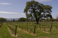 Oak tree vineyard Stock Image