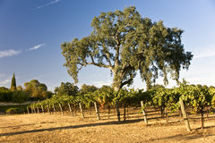Oak Tree and Vineyard Royalty Free Stock Image