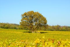 Oak tree in vineyard. Autumn Royalty Free Stock Photos