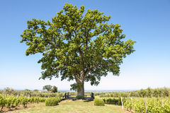 Oak tree between vineyard in Tuscany, Italy. Oak tree of winery Ornellaia. Old oak tree in the vineyard of Ornellaia in Tuscany, Italy. In the background you can stock photography