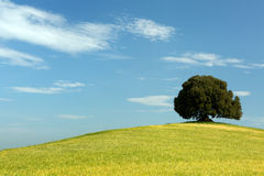 Oak tree in wheat field Royalty Free Stock Photos