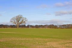 Oak tree and wheat Royalty Free Stock Photo