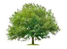 Oak tree on a white background Stock Image
