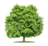 Oak tree on a white background Royalty Free Stock Photos