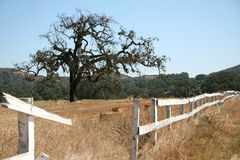 Oak tree and white fence on a ranch. Oak tree and rustic white fence on a ranch, hay in the background Royalty Free Stock Photos
