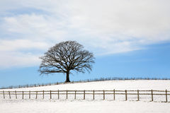 Oak Tree In Winter. Oak tree in a field in winter with snow and a fence with a blue sky and clouds to the rear Royalty Free Stock Image
