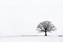 Oak Tree in Winter. Oak tree in a field of snow in winter against a white sky background stock image