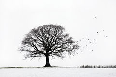 Oak Tree in Winter royalty free stock image