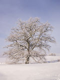 Oak tree at winter Stock Images