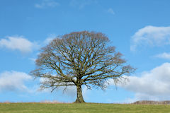 Oak Tree in Winter Royalty Free Stock Photo