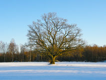 Oak tree in the Winter Royalty Free Stock Photos