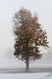 Oak tree in winter Stock Image