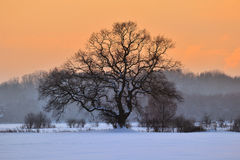 Oak tree in winter Royalty Free Stock Images