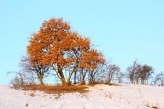 Oak tree in winter Stock Photography