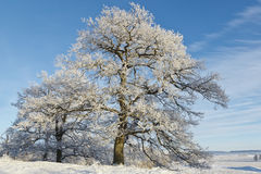 Oak tree in winter Royalty Free Stock Photography
