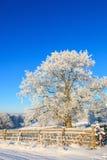 Oak tree in winter Royalty Free Stock Photography