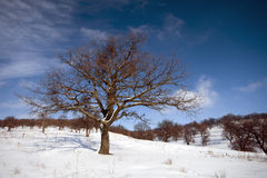 Oak tree on winter peissage. Oak tree  winter peissage on snow and blue sky with scattered clouds Stock Images