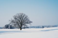 Oak tree in winter Royalty Free Stock Image