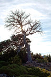 Oak tree in winter in a sunny day. In Spain Royalty Free Stock Image