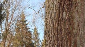Oak tree in winter. Tree in winter forest. Closeup. Tree trunk. Tree bark. Oak tree in winter. Tree in winter forest. Closeup. Panorama of big tree on background stock footage