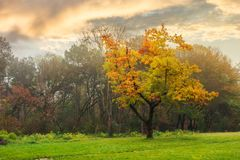 Oak tree in yellow foliage on the grassy meadow. Autumn nature scenery in the city park royalty free stock photography