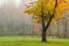 Oak tree in yellow foliage on the grassy meadow. Lovely autumn nature scenery in the foggy city park royalty free stock photo