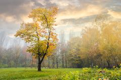 Oak tree in yellow foliage on the grassy meadow. Mysterious autumn scenery in the foggy park royalty free stock photography