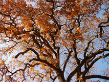 Oak tree with yellow and red leaves. Oak tree photo against the sky with the branches and dry leaves Royalty Free Stock Images