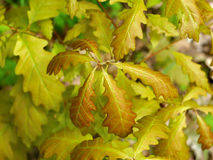 Oak tree young leaves Stock Photography