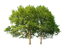 Oak trees Royalty Free Stock Image