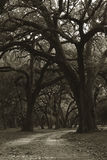 Oak Trees. Dramatic oak trees lining a lonely road - tinted Sepia Royalty Free Stock Photo