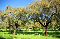 Oak trees . Stock Image