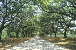 Oak trees. Spanish moss covered oak trees lining a plantation road, SC Royalty Free Stock Photos