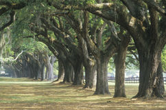 Oak trees. Spanish moss covered oak trees lining a plantation road, SC Royalty Free Stock Photo