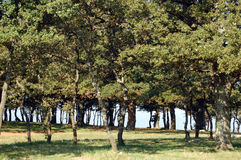 Oak trees Royalty Free Stock Images