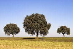 Oak trees. In sunny day Stock Photos