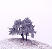 Oak trees. In grayscale; image looks almost like there is snow on ground Royalty Free Stock Photography