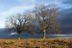 Oak trees Stock Images