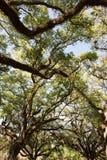 Oak trees against sky Royalty Free Stock Photos