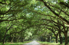 Oak Trees Along Country Road. Oak trees line quiet country road Royalty Free Stock Photo