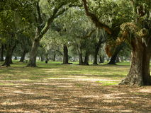 Oak trees in aprk setting Royalty Free Stock Photo