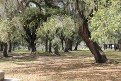 Oak trees in aprk setting Stock Images