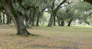 Oak trees in aprk setting Stock Photos