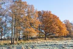 Oak trees Stock Photography